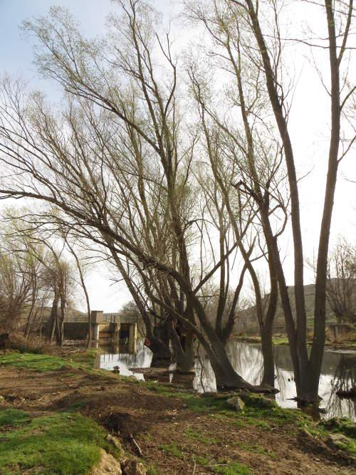 Las choperas en el azud de Huesa, junto a la desembocadura del río Marineta. Primavera 2015